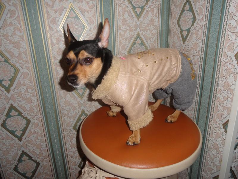 Одежда для собак пинчер своими руками64